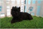 Picture of Playful Affenpinscher Puppy!