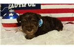 Sugar Bear | Puppy at 41 weeks of age for sale