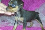 Picture of a Miniature Pinscher Puppy