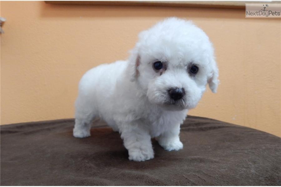 malti-poo-maltipoo-puppy-picture-aabc9e6c-4719-4555-aa63-48a46e10e28f