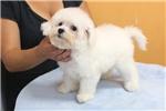 Picture of AKC Bichon Frise Puppy