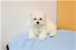 Picture of Bichon Frise puppy