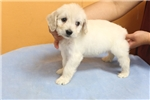 Picture of Cocka-Bichon Puppy