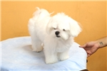 Picture of Snow White Maltese Puppy- 8 Month Old