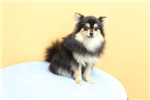 Picture of Tiny Pomeranian Puppy