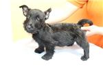 Picture of Black Scottish Terrier