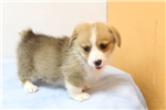 Picture of The most cutest Welshi Corgi-Pembroke Puppy