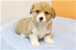 Picture of Pembroke Welshi Corgi Puppy