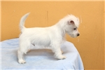 Picture of Westie Puppy