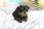 Picture of Tiny Yorkshire Terrier Puppy- Female