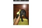 Picture of Working Cane Corso puppies
