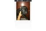 Working Cane Corso puppies | Puppy at 3 weeks of age for sale