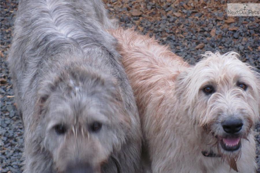 male | Irish Wolfhound puppy for sale near Pensacola, Florida ...