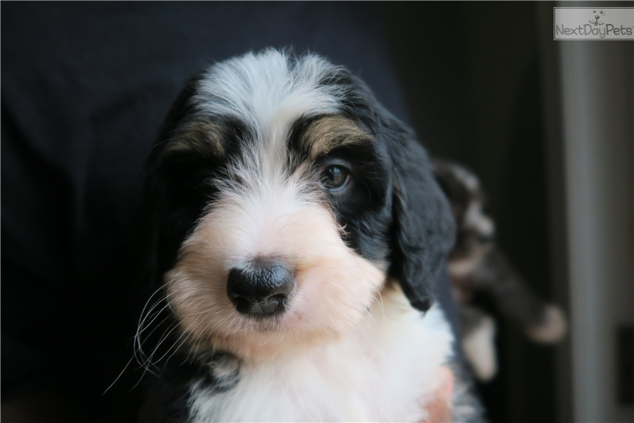Bernese Mountain Dogs For Sale In Washington Dc