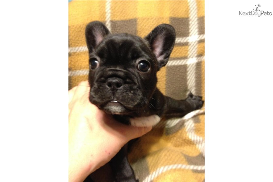 french bulldog rescue palm beach dog breeds picture