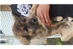 Picture of AKC Champion BL female brindle Akita puppy