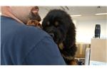 Picture of AKC Champion BL Tibetan Mastiff