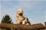 PBGV Upcoming Litter  | Puppy at 9 weeks of age for sale