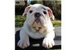 Picture of AKC English Bulldog Puppy - Rocco