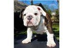 Picture of AKC English Bulldog Puppy - JackSparrow