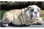 Picture of AKC English Bulldog Puppy - Maxwell