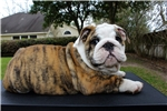 Picture of AKC English Bulldog Puppy - Sambuco