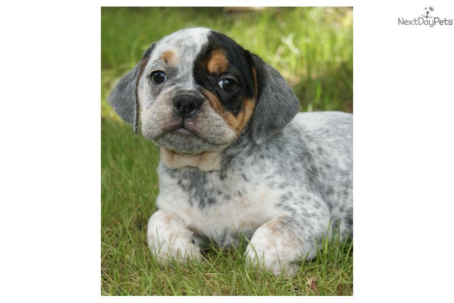 Beabull puppy for sale near Springfield, Missouri | 2805a43f-9f31