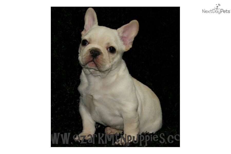 French Bulldog Puppies For Sale In Pa | French Bulldog Puppies For ...
