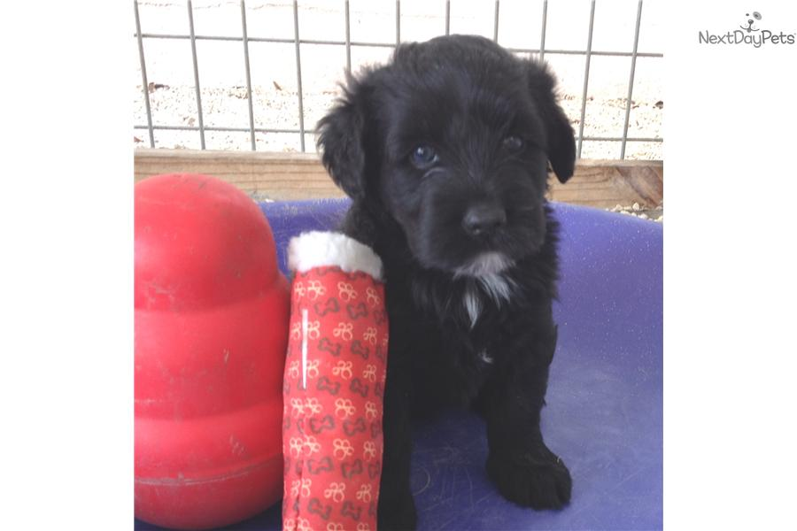Portuguese Water Dog For Sale Florida Portuguese Water Dog f...