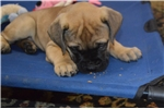 AKC Bullmastiff Puppy | Puppy at 13 weeks of age for sale