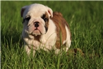 Picture of a Bulldog Puppy