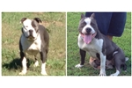 Picture of Carolina Blue Patch UKC Male Puppy Available