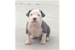 Picture of Carolina Blue UKC Male C Puppy Available