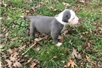 Picture of Carolina Blue UKC Female B Puppy Available
