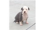 Picture of Carolina Blue UKC Male D Puppy Available