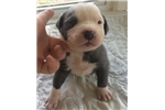 Picture of Carolina Blue UKC Male A Puppy Available