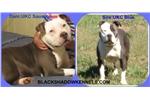 Picture of Carolina Blue UKC Male E Puppy Available
