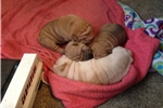 Picture of Chinese shar pei puppies