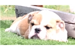 Picture of Mackinac - Piebald Male English Bulldog Puppy
