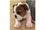 Picture of Madrid - Piebald Male English Bulldog Puppy