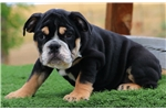 Picture of Billy The Kid - Blk Tri Male English Bulldog Pup