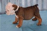 Picture of Lily - Fawn Sable Female English Bulldog Puppy