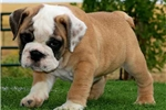 Picture of Fig - Fawn Male English Bulldog Puppy