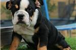 Picture of Jesse James - Black Tri Male - English Bulldog Pup