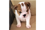 Picture of Paris - Piebald Female English Bulldog Puppy