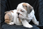 Picture of Jasmine - Brindle Female English Bulldog Puppy