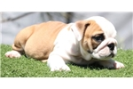 Picture of Haven - Fawn Female English Bulldog puppy
