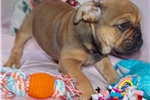 Picture of Daffodil - Fawn Sable Female English Bulldog Puppy