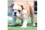 Picture of Bahama - Fawn Male English Bulldog puppy