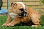 Picture of Doc Holliday - Fawn Male English bulldog puppy